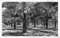 Coachella Valley Date Gardens showing Picking Platforms Indio Calif.