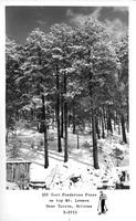 100 foot Ponderosa Pines on top Mt. Lemmon near Tucson, Arizona