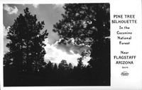 Pine Tree Shilouette in the Coconino National Forest near Flagstaff Arizona