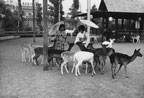 Young women in Japanese costume feeding the deer at Japanese Village and Deer Park in Buena Park