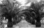 Palms in Santa Ana