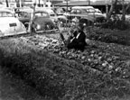 Victory Garden in back of the Santa Ana Library in 1943