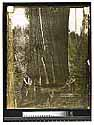Monster Redwood at Arcata [Two men use a misery whip saw on a standing tree]