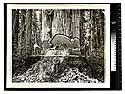 Among the Redwoods in California [Logging in Vance Woods #1/unknown]
