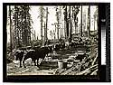 Among the Redwoods in California [Ox team - First stage of logging #4/unknown]