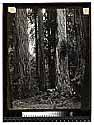 Among the California Redwoods, Virgin Timber Reg No. 5/Among the Redwoods in California [In the Redwoods - Ed Ericson in buggy - about 1900/unknown]