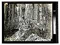 In the Redwoods, Humboldt Co., California [Undercut - redwood/unknown]