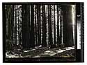 [Photographing redwoods/unknown]