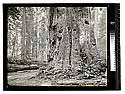 Virgin Redwoods, Garfield, Humboldt County/Among the Redwoods in California [In the Redwoods/unknown]