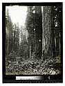 Virgin Redwoods Garfield, Humboldt County [Redwood Scene/unknown]