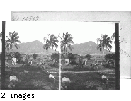 Scene Near the Old Home of Alexander Hamilton. Island of Nevis. West Indies. B.W.I.