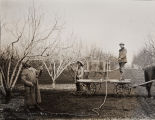 Photograph of spraying apricot trees for disease control with a hand-operated spray rig