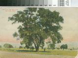 Postcard of an Oak Tree, near San Jose, Calif.