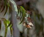 Bill Coleman studies monarch butterflies