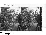 Picking Cherries - Lake Erie Fruit Section. Pa.