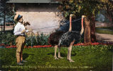 """Cawston Ostrich Farm Postcard: """"""""Breaking the Young Ones"""""""""""