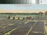Postcard of Drying Prunes Near San Jose, California
