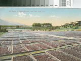 Twenty Acres of Drying Prunes near San Jose, Cal.