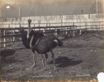 Two Ostriches in an Enclosure at Cawston Ostrich Farm
