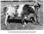 Animal Husbandry, Alex McDonald holding prize winning steer