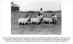 Picnic Day, sheep