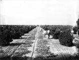 Upland Photograph Agriculture--Citrus; Man on a horse in pumpkin patch between rows of citrus trees / Edna Swan