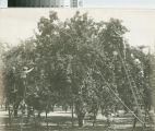 Apple Pickers on Ladders