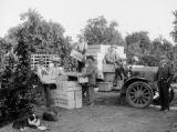 Men loading trucks in an orange grove on the Kings River