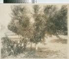 Fruitful Prune Tree With Broken Branch