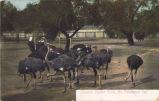 "Postcard: """"Cawston Ostrich Farm"""""