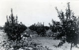 View of Nimock's lemon orchard