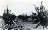 View of Nimock's lemon orchard