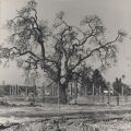 Oak tree and construction