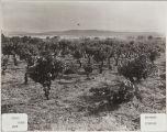 Edgar Ranch, Beaumont Vineyard in 1908.