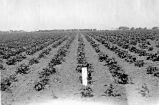 [Oxnard sugar beet field]