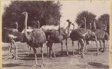Ostriches at Cawston Ostrich Farm in South Pasadena, CA