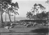 Photograph Of Sheep Grazing at Pebble Beach