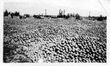 Upland Photograph Agriculture--Citrus; culled oranges / Esther Boulton Black Estate