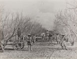 Photograph of spraying apricot trees for disease control with hand-operated spray rigs