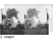 East Indian Cattle Farm of Hon. Evelyn Ellis, Montpelier, Jamaica.