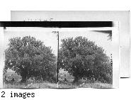 An oak in the land of Gilead, near the scene of Absolom's death. Palestine.