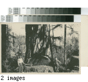 [Two men posing with tools next to undercut of large redwood tree; Little River Redwood Co. promotional postcard]