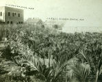 Shafer Nursery on East Main Street in Turlock, California, circa 1908.