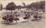Ostriches in an Enclosure at Cawston Ostrich Farm