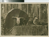 [Mr. and Mrs. Salmon of Havana, Cuba pose with John Sequist, Wood Boss, in Little River Redwood Co. woods in front of felled redwood]
