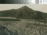 Postcard of Prune Orchards At Morgan Hill, California