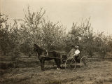 Mr. and Mrs. Ben Shirley with horse and buggy in almond orchard in Banning, California