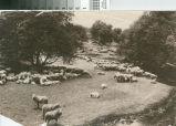 Flock of Sheep in the Santa Clara Valley Foothills