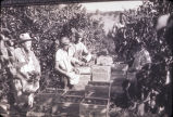 Persimmon picking, Beck Ranch