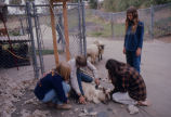 [Shearing a sheep at Mission Viejo High School's agricultural farm slide.]
